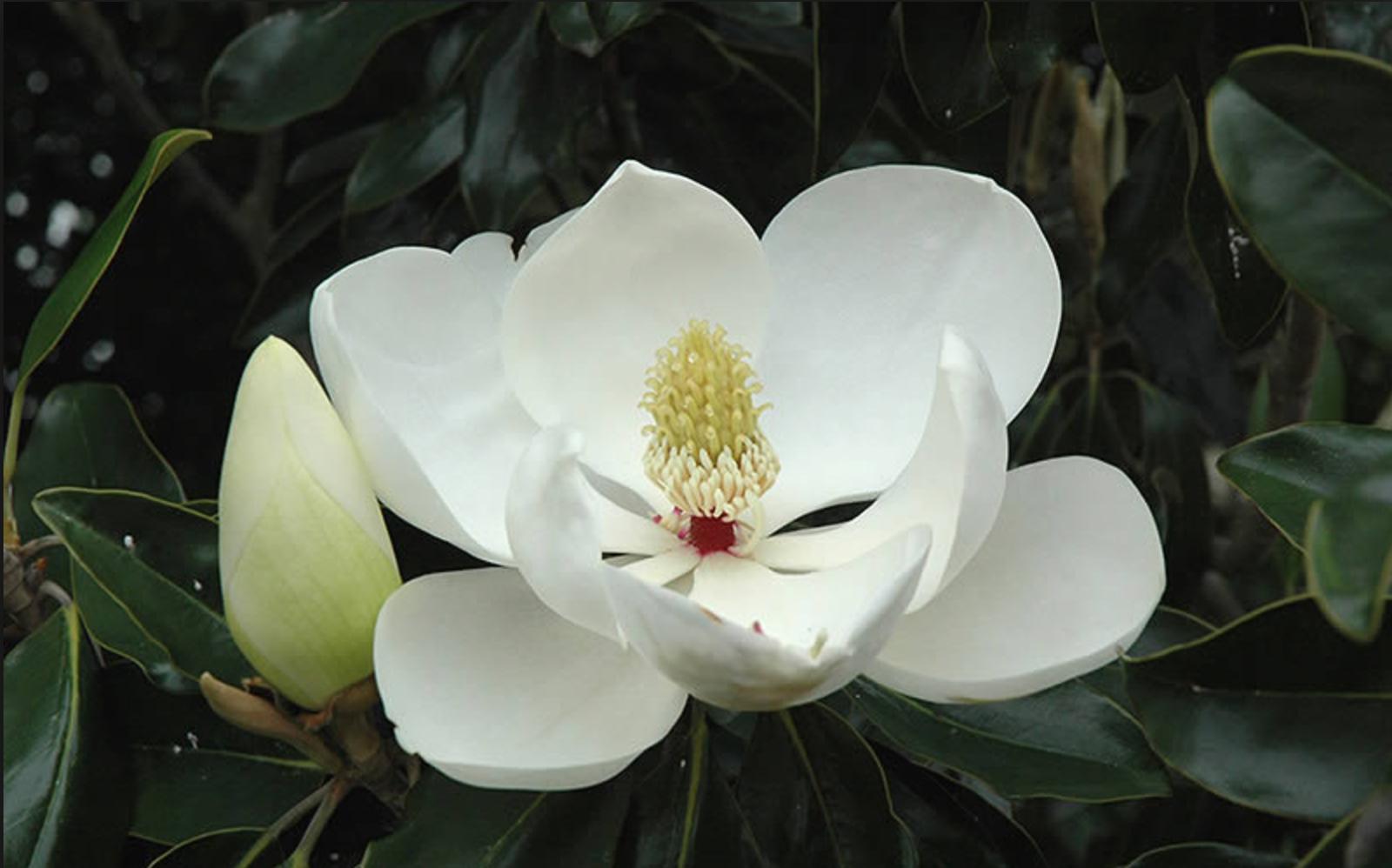 Know Your Trees Magnolias The Georgetown Metropolitan