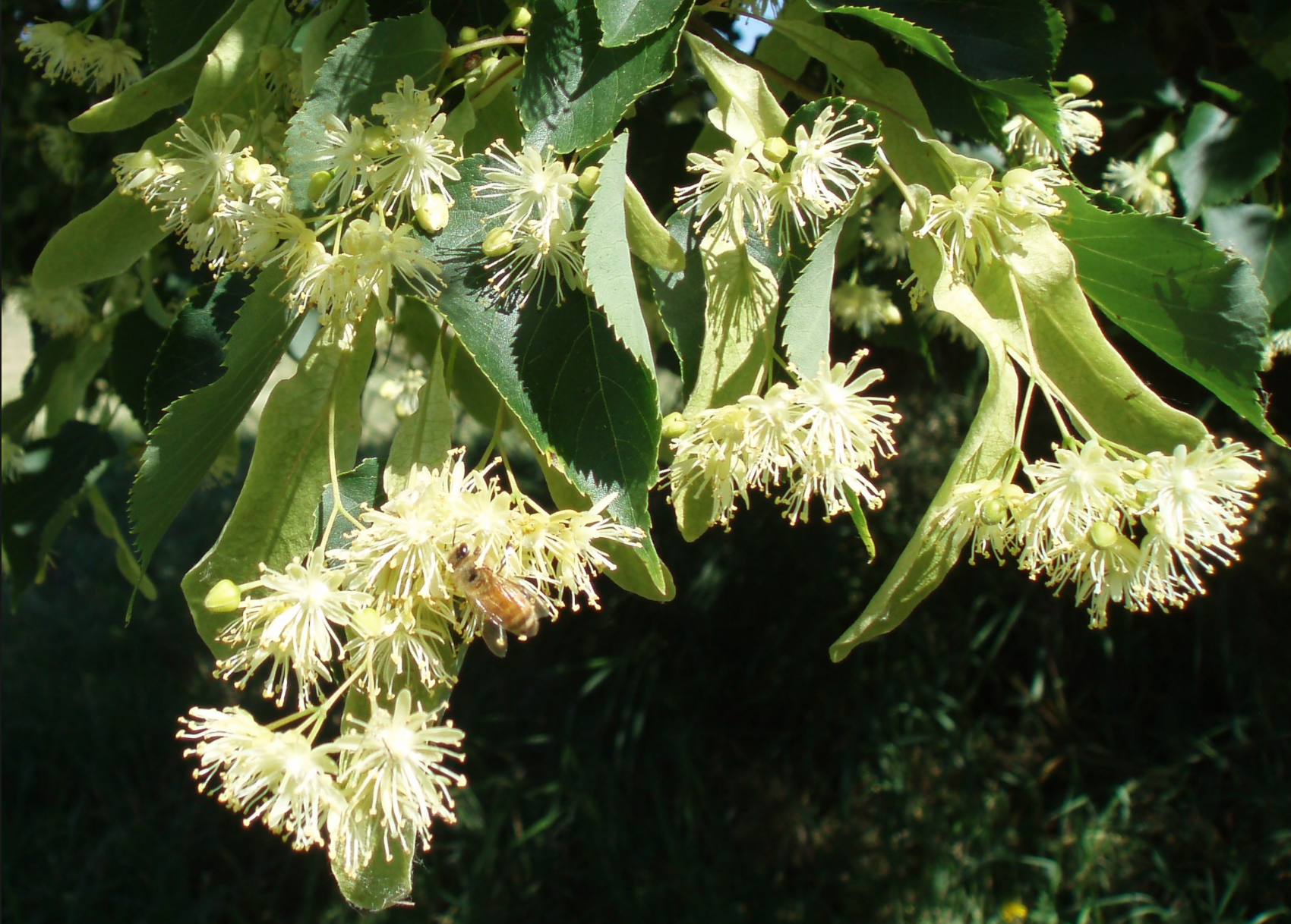 Know your trees linden trees the georgetown metropolitan in the spring the tree is covered in small yellowish white flowers with a very distinct earthy sweet smell the flowers look like this mightylinksfo